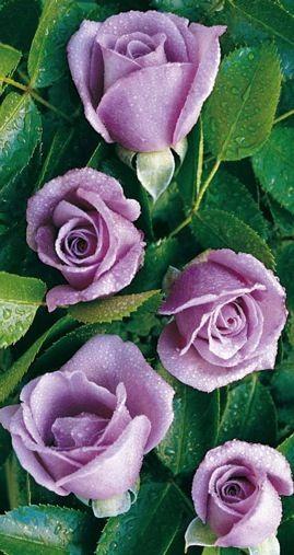 Balená růže keřová - Mainzer Fastnacht