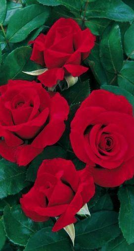 Balená růže keřová - Nottingham