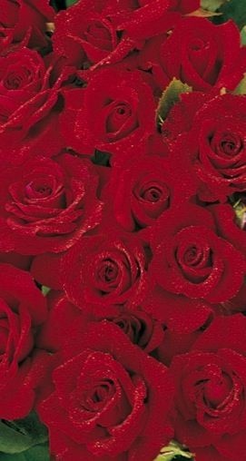 Balená růže pnoucí - Don Juan
