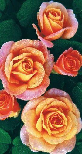 Balená růže pnoucí - Westerland