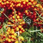 Balený keř - drobné ovoce - Rakytník 2ks ( pár )