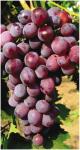 Balený ovocný keř - Vinná réva - Olšava