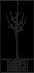 Balený ovocný stromek - hrušeň Clappova