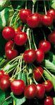 Balený ovocný stromek - třešeň Stella - samosprašná chrupka